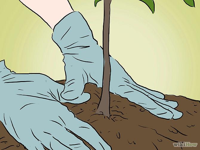 Grow an Apple Tree from a Seed Step 13.jpg