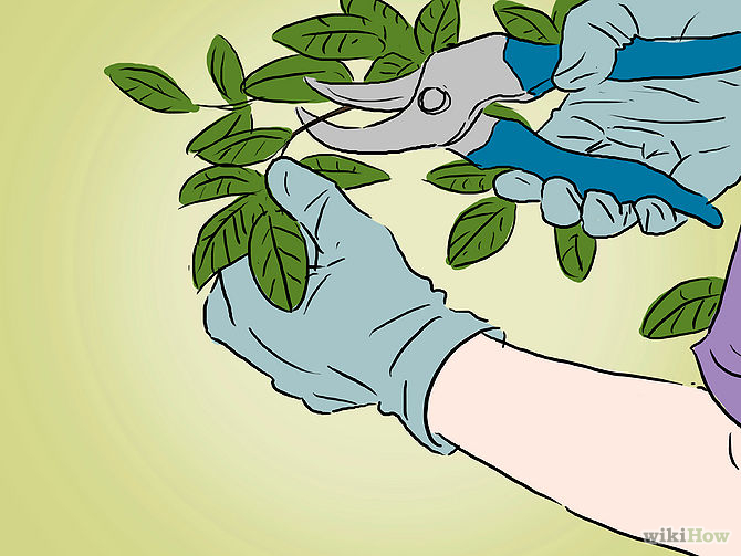 Grow an Apple Tree from a Seed Step 18.jpg