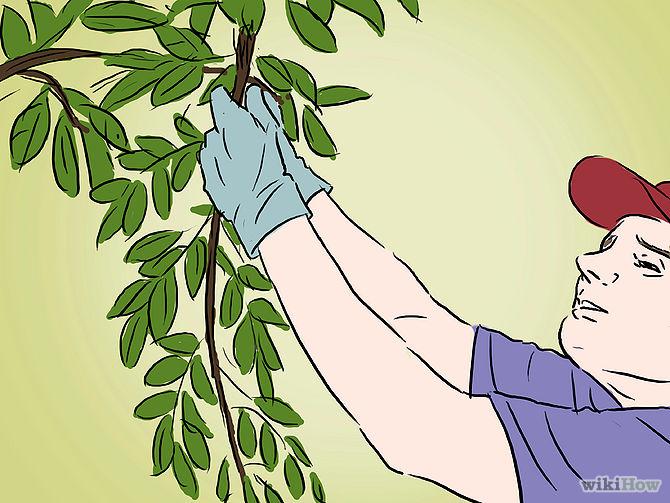Grow an Apple Tree from a Seed Step 21.jpg
